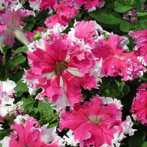 Цветы Петуния Каркулка F1