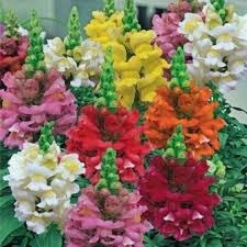 Цветы Львиный Зев смесь Низкорослая