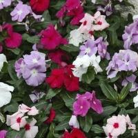 Цветы Барвинок Хетвейв