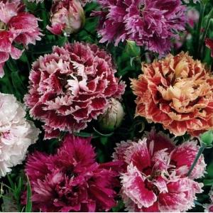 Цветы Гвоздика Китайская смесь Махровая