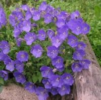 Цветы Колокольчик Карпатский СЦ