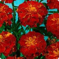 Цветы Бархатцы Констанция