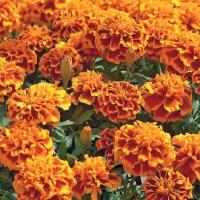 Цветы Бархатцы Королева София