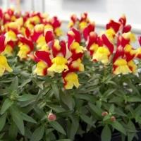 Цветы Львиный зев Снеппи F1 Красно-Желтый