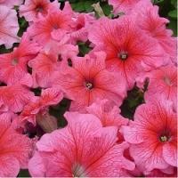 Цветы Петуния Танго F1 Красная с Прожилками