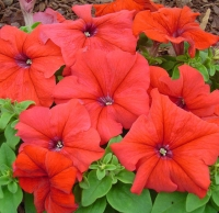 Цветы Петуния Лимбо F1 Красная с Прожилками