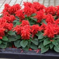 Цветы Сальвия Леди в Красном