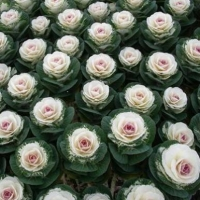Цветы декоративная Капуста Крейн двуцветная F1