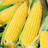 Кукуруза сахарная Багратион F1 50гр