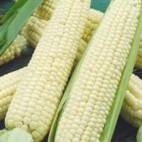 Кукуруза сахарная Белоснежка F1