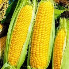 Кукуруза сахарная Добрыня F1(ДС)