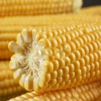 Кукуруза сахарная Лендмарк F1