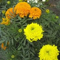 Цветы Бархатцы смесь Купидон