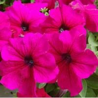 Цветы Петуния Ламбада F1 Розовая