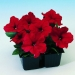 Цветы Петуния Ламбада F1 Красная