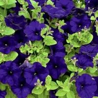 Цветы Петуния Ламбада F1 Синяя