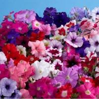 Цветы Петуния Ламбада F1 Смесь