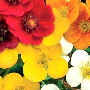 Цветы Лапчатка Летний Мотив