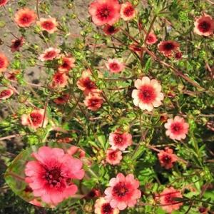 Цветы Лапчатка непальская Мисс Вильмот