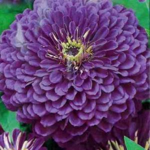Цветы Циния Лаванда