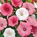 Цветы Лаватера смесь