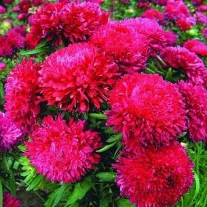 Цветы Астра Леди Гамильтон