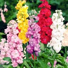 Цветы Левкой смесь Императорская