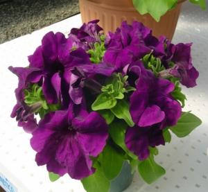 Цветы Петуния Лимбо F1 Пурпурная