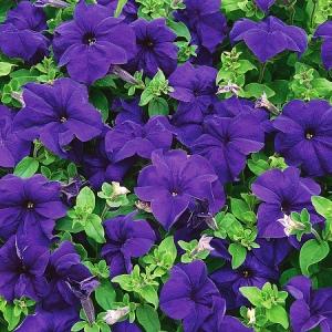 Цветы Петуния Лимбо F1 Синяя