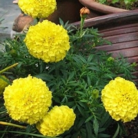 Цветы Бархатцы Принц Лимон