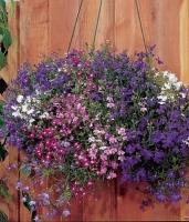Цветы Лобелия ампельная Изысканный каскад