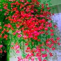 Цветы Лобелия Красный Каскад, ампельная