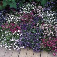 Цветы Лобелия Жемчужная нить