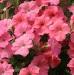 Цветы Петуния ампельная Лососевая Лавина F1