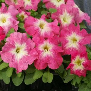 Цветы Петуния Лимбо F1 Лососевое утро