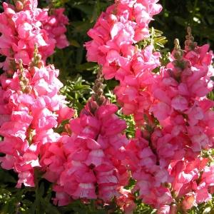Цветы Львиный зев Розовый лев