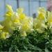 Цветы Львиный зев Снеппи F1 Желтый