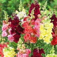 Цветы Львиный Зев смесь Высокорослая