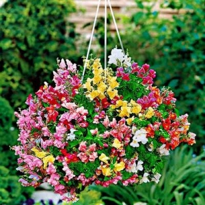 Цветы Львиный зев ампельный Амулет