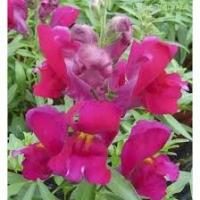 Цветы Львиный зев Снеппи F1 Фиолетовый