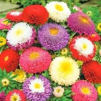 Цветы Астра смесь Мадагаскар
