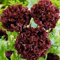 Цветы Мак Блэк пионовидный