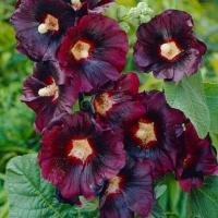 Цветы Мальва Нигра