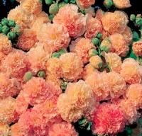 Цветы Мальва Персиковая мечта