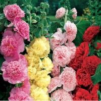 Цветы Мальва смесь Махровая
