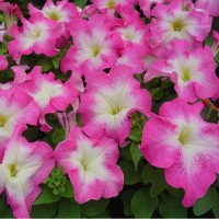 Цветы Петуния Мамбо F1 Розовое Утро