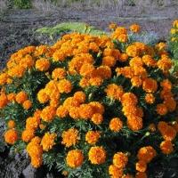 Цветы Бархатцы Мандарин