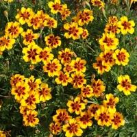 Цветы Бархатцы Мариетта