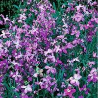 Цветы Матиола