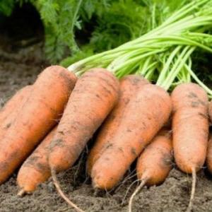 Морковь Болтекс СЦ